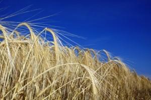 La hausse du prix du blé a précipité les révolutions