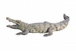 indicateur alligator long trading-attitude