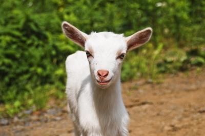 Comment apprendre la politique avec une chèvre