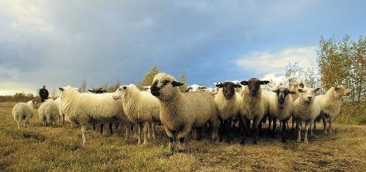 en marche moutons