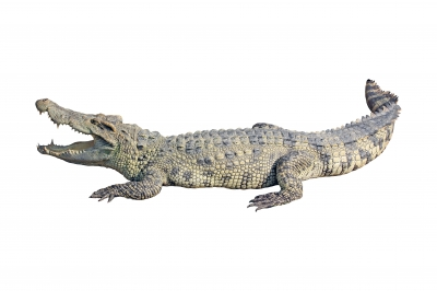 Indicateur Alligator long